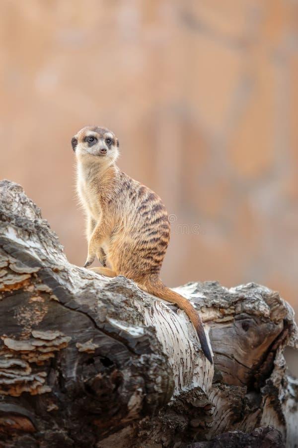 Tjänstgörande Meerkat fotografering för bildbyråer