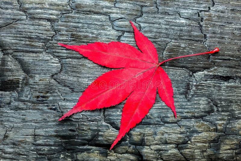 Tjänstledigheter för röd lönn på wood svart som bränns arkivfoton