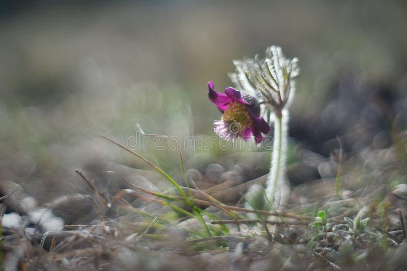 Tjeckisk pasqueflower eller pulsatilla i blom med trevlig bokeh eller oskarp bakgrund royaltyfri foto