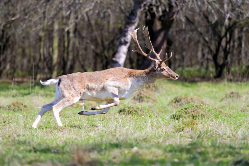 tjeckisk tekniker för preserve för hjortträdalek royaltyfria foton