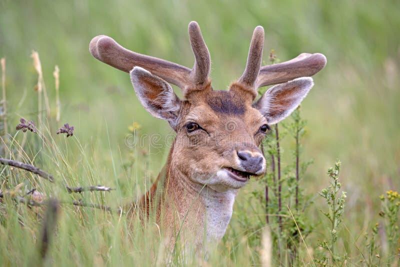 tjeckisk tekniker för preserve för hjortträdalek royaltyfri foto