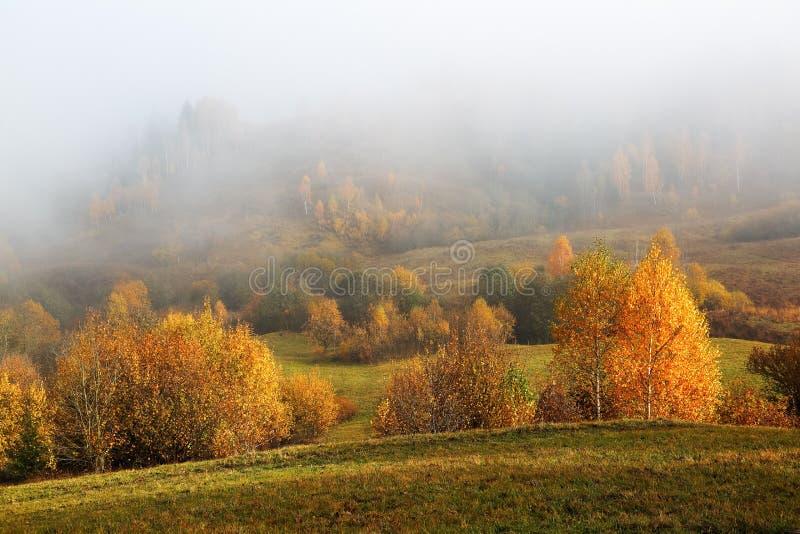 Tjock dimma täckte dalen, majestätiskt höstlandskap för skog Bj?rk med apelsinsidor och guld- gr?s Carpathian läge royaltyfri fotografi