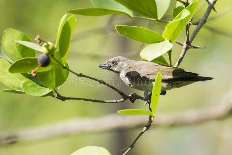 Tjock-fakturerade Flowerpecker royaltyfri fotografi