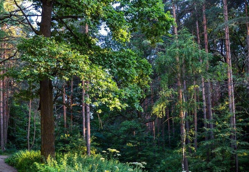 Tjock lös lövskog en ogenomtränglig busksnår Sommar Ryssland arkivfoton