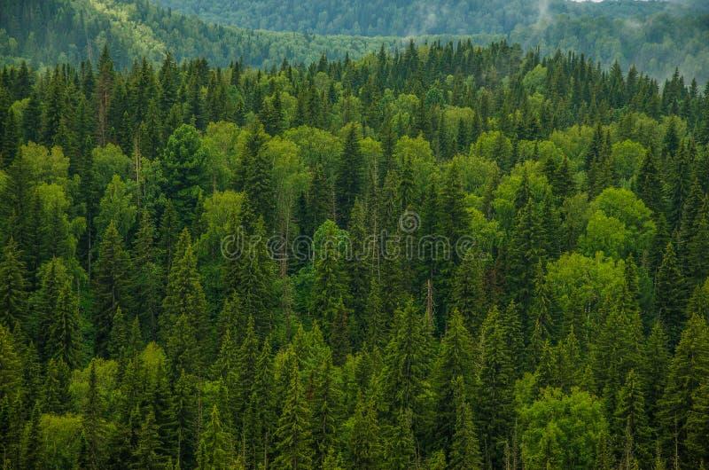tjock morgondimma i sommarskogen arkivbild