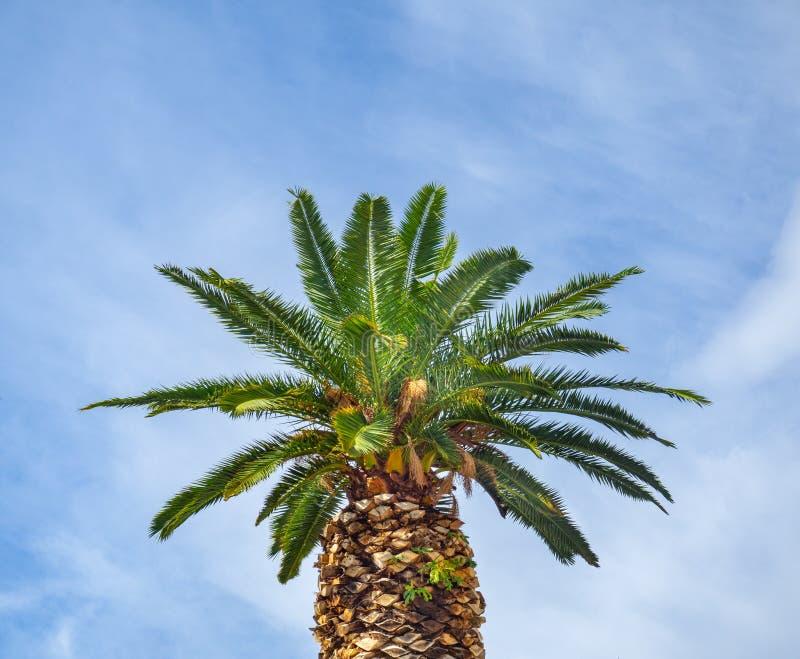 Tjock palmtr?d - bakgrund f?r molnig himmel royaltyfria foton