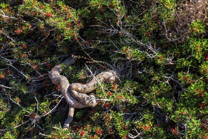 Tjock slingrig stam av den gröna ökentaggbusken med små röda bär royaltyfria bilder