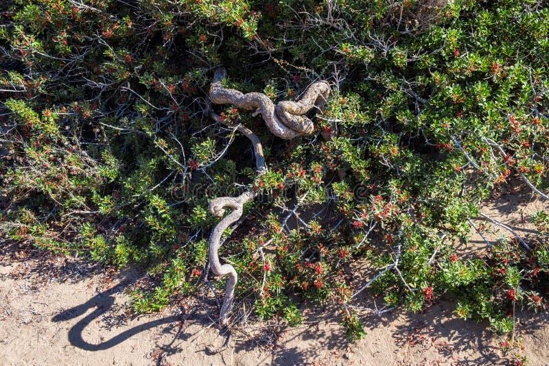 Tjock slingrig stam av den gröna ökentaggbusken med små röda bär arkivfoton