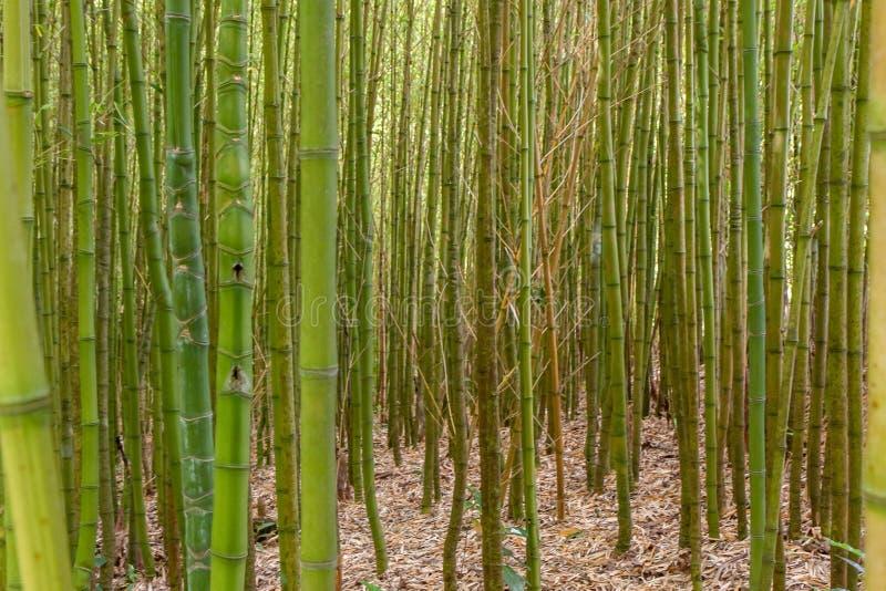 Tjocka bambubusksnår stänger sig upp arkivbild