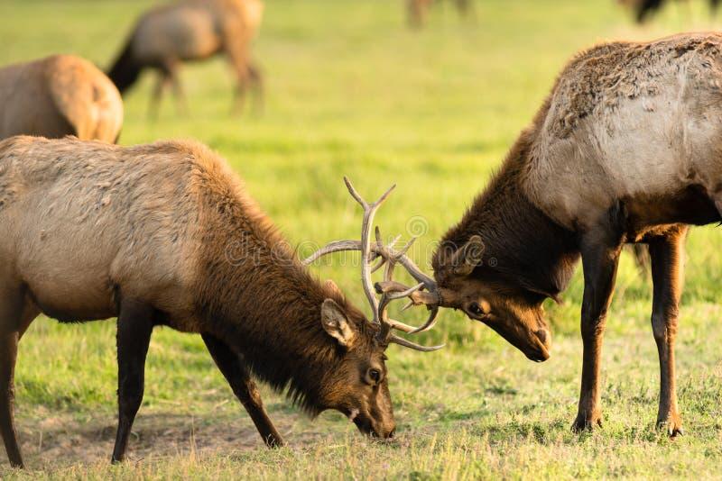 Tjurälg för två man som munhuggas testa stort djurliv för modigt djur royaltyfri fotografi