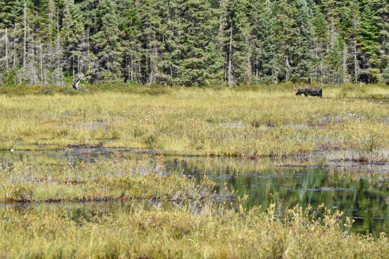 Tjurälg som betar i våtmarker för Algonquin` s arkivbilder