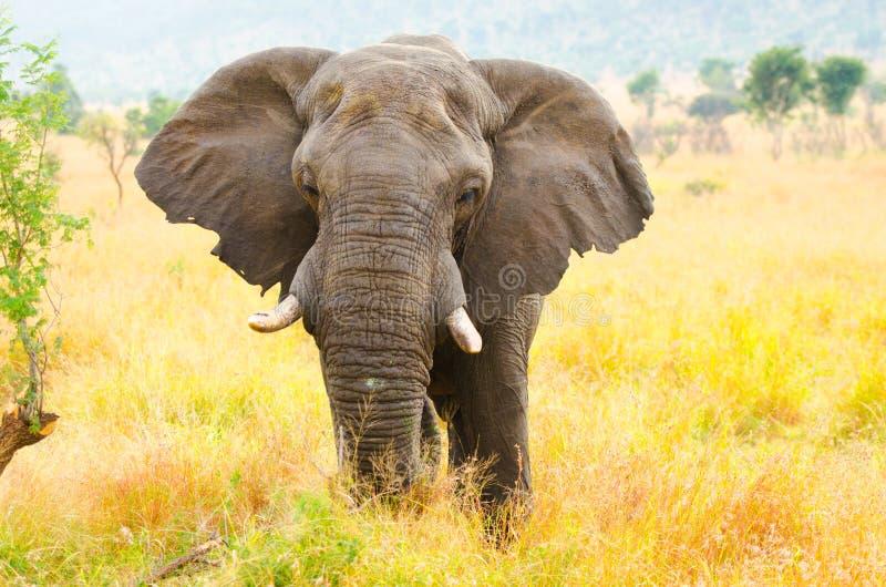 Tjur för afrikansk elefant. Kruger nationalpark, Sydafrika royaltyfri foto