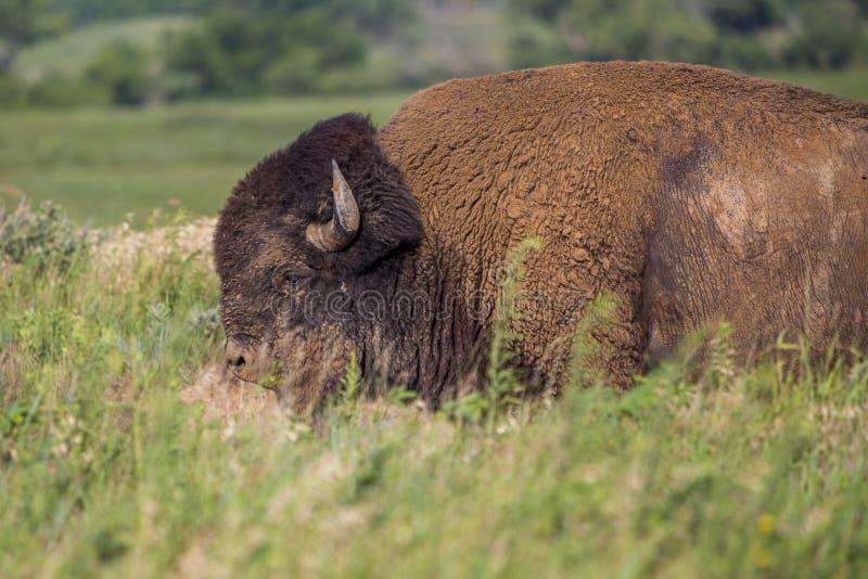 Tjur för amerikansk bison arkivbild