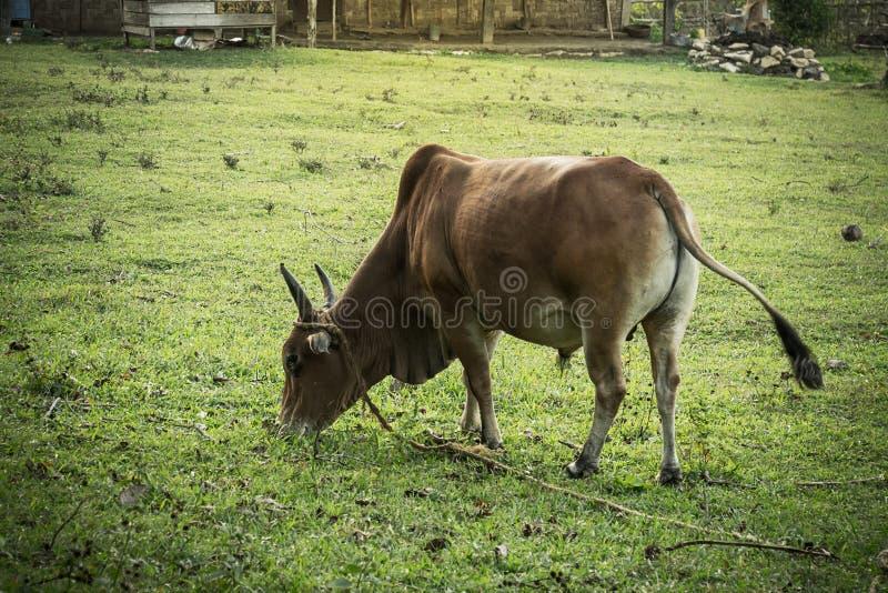 tjur för nötköttnötkreatur i fältet - nellore, vit ko arkivbild