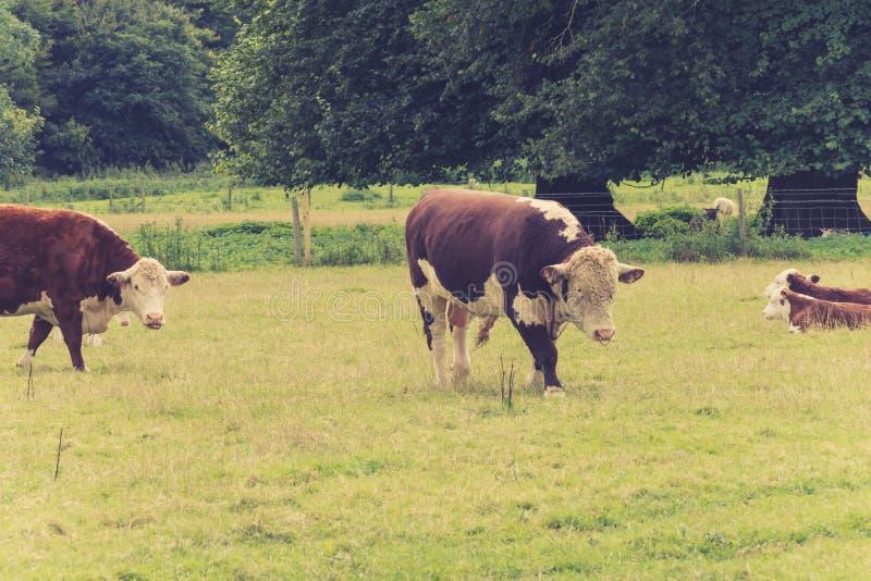 Tjur med familjen i bondefält royaltyfri foto