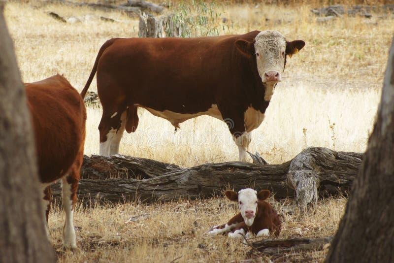 Tjur och kalv i paddock royaltyfri foto