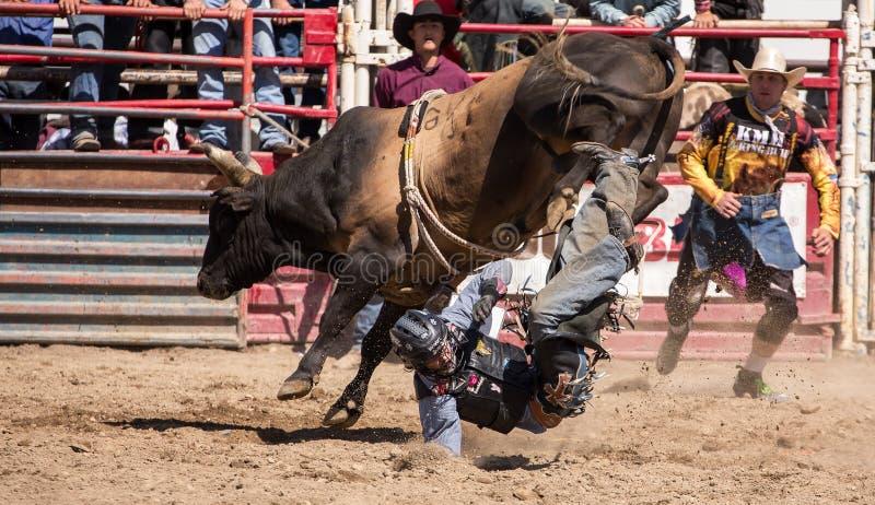 Tjur Rider Gets Tossed royaltyfri fotografi