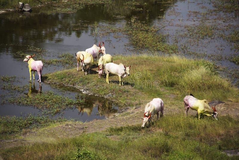 Tjurar eller boskapbeta och dricksvatten på den Vetal tekdien, Pune royaltyfria bilder