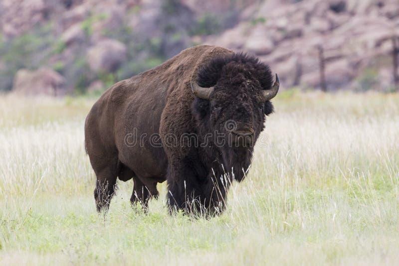 Tjurbuffel i Wichita berg royaltyfri fotografi