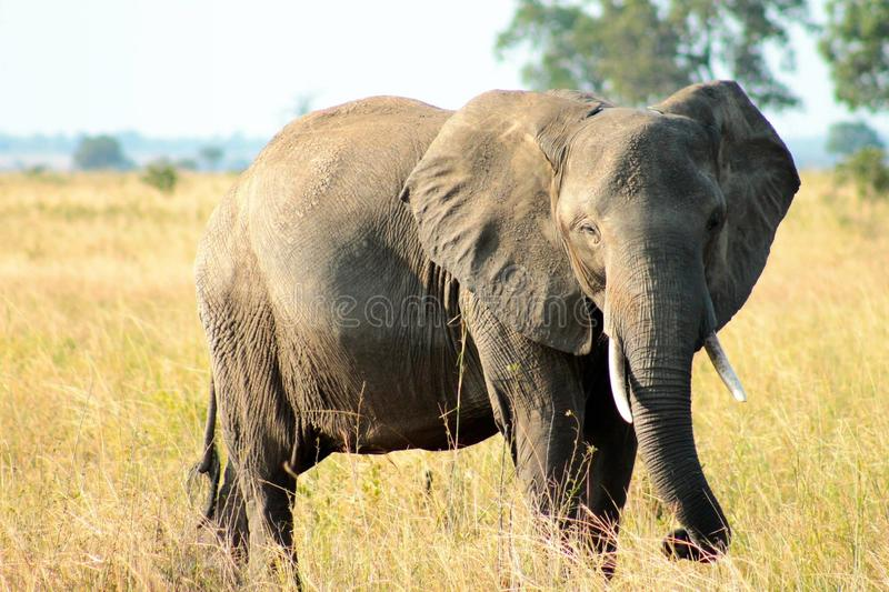 Tjurelefant arkivbild