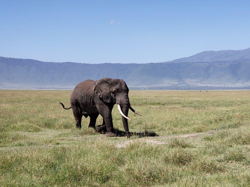 Tjurelefant i den Ngorongoro krater, Tanzania royaltyfria bilder