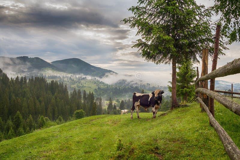 Tjuren och en ko betar i en bergkyrkogård arkivbild