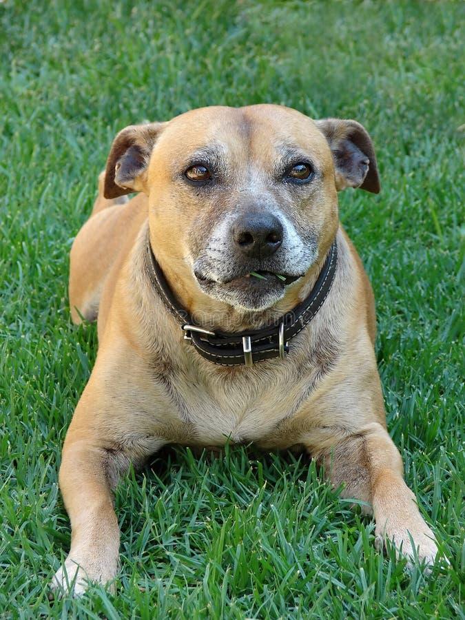 tjurhundstaffordshire terrier royaltyfria foton