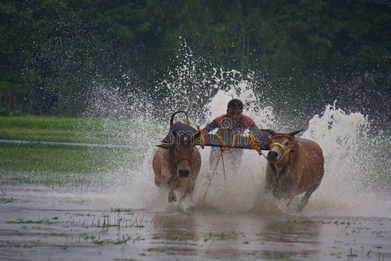 TjurRace på på burk, Indien royaltyfri foto