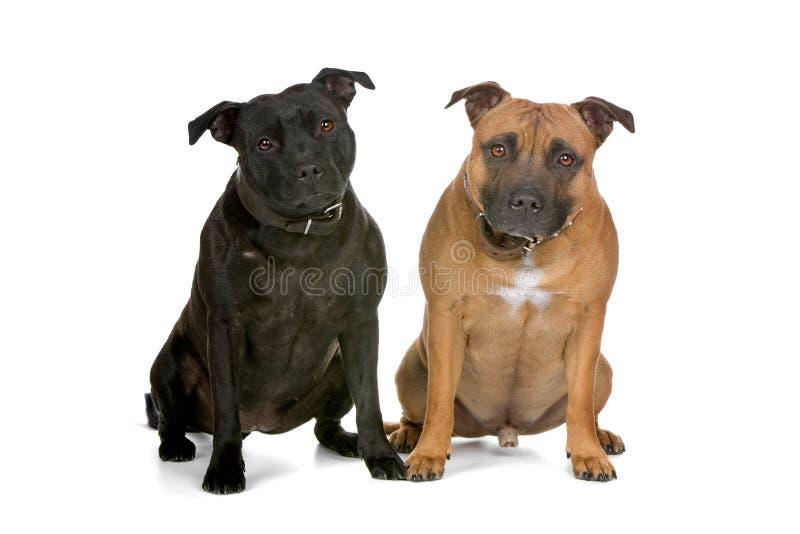 tjurstaffordshire terriers royaltyfri fotografi