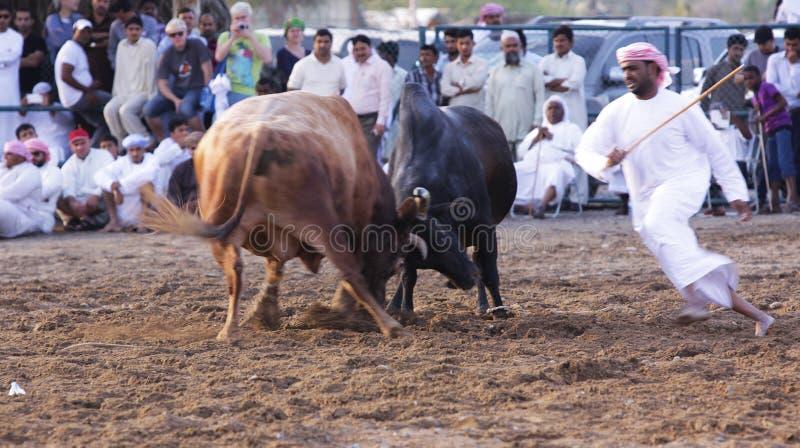 Tjurstridighet i Fujeirah royaltyfri fotografi
