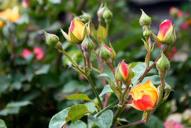 Tjusa den färgrika blomman och knoppen royaltyfri fotografi
