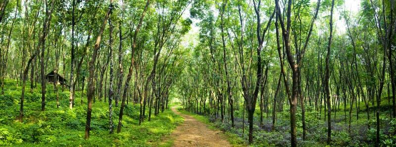 Tjusa det Forest Lane Rubber Tree Plantation begreppet royaltyfria bilder