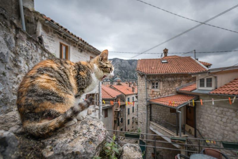 Tjuta katten från Kotor fotografering för bildbyråer