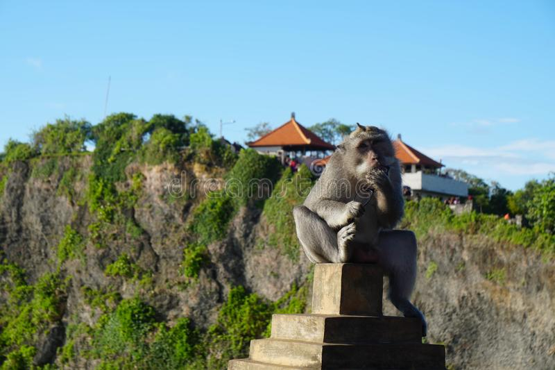 Tjuv Monkey i den Bali templet arkivbilder