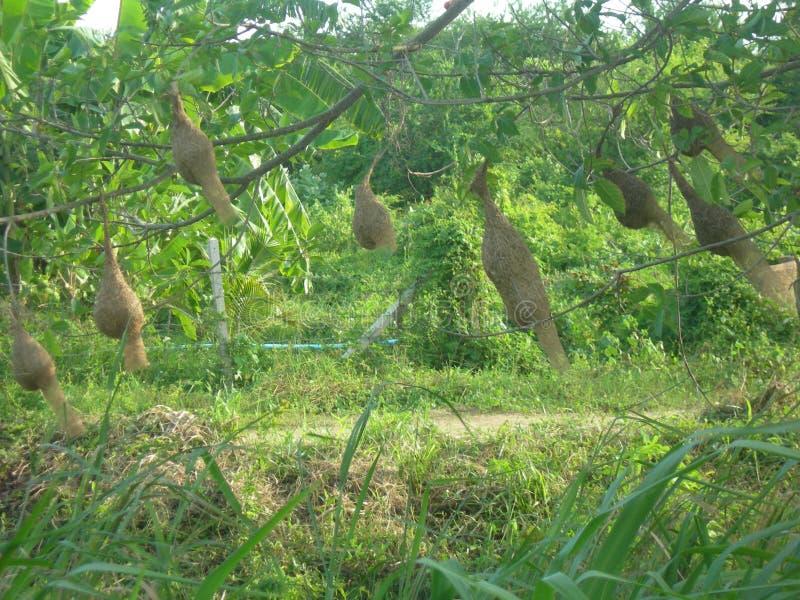 Tkaczów gniazdeczka zdjęcia stock