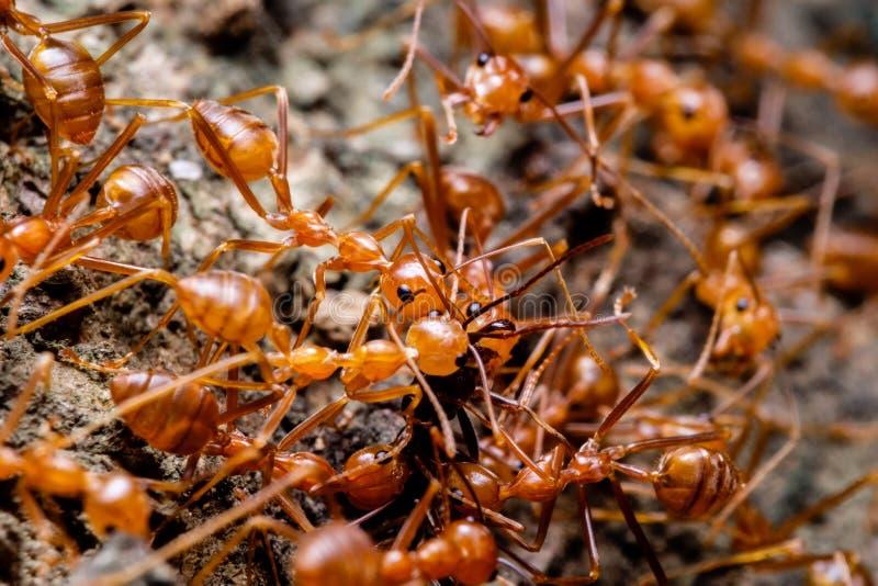 Tkacz mrówek współpraca obraz stock