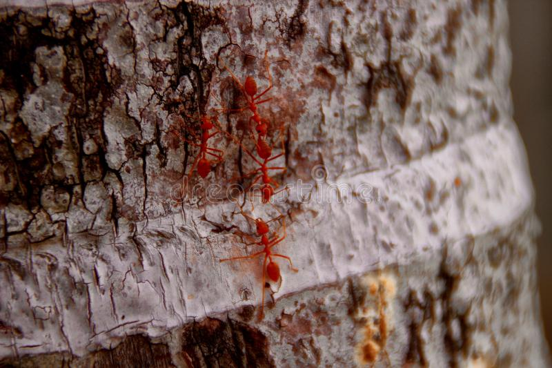 Tkacz mrówki lub zielone mrówki fotografia royalty free