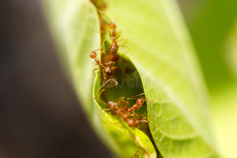 Tkacz mrówki w zielonych liściach obrazy stock