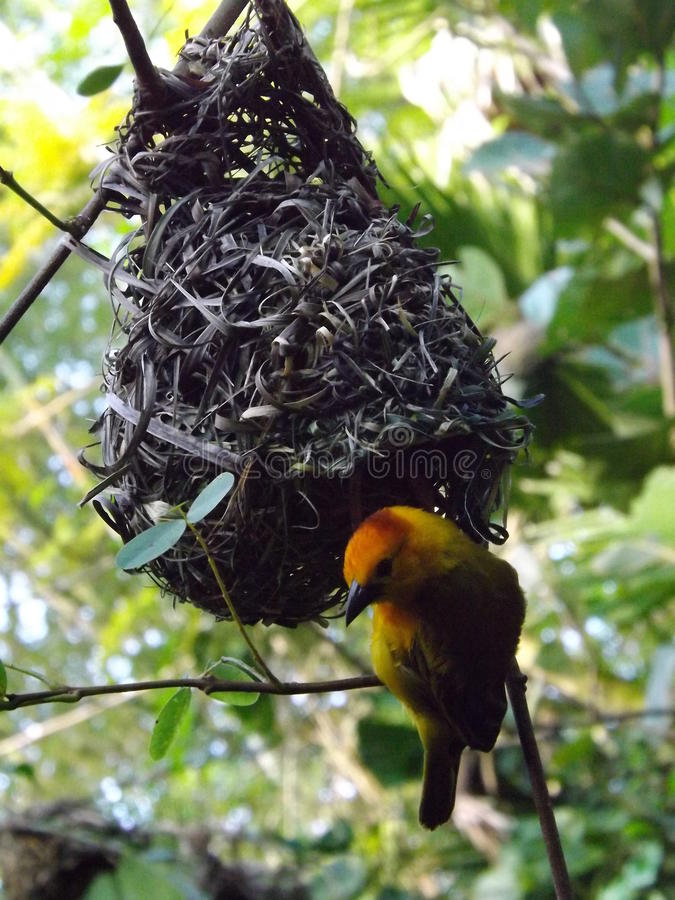 Tkacza ptak zdjęcia stock