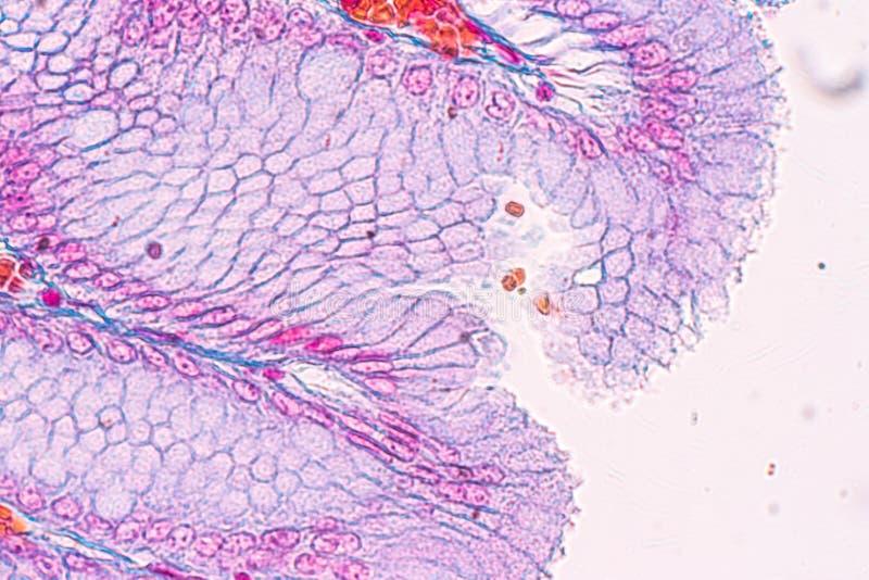 Tkanka żołądek pod mikroskopem dla edukacji obraz royalty free