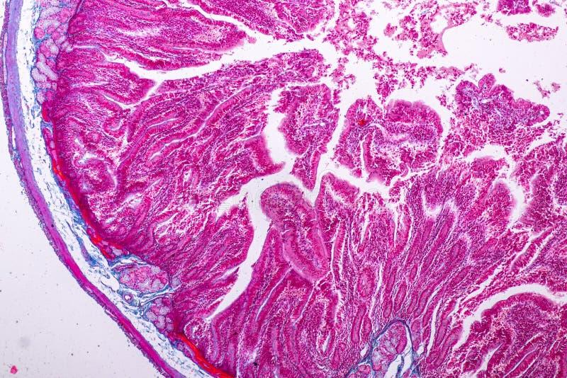 Tkanka mały jelito lub mała kiszka pod mikroskopijnym obrazy stock