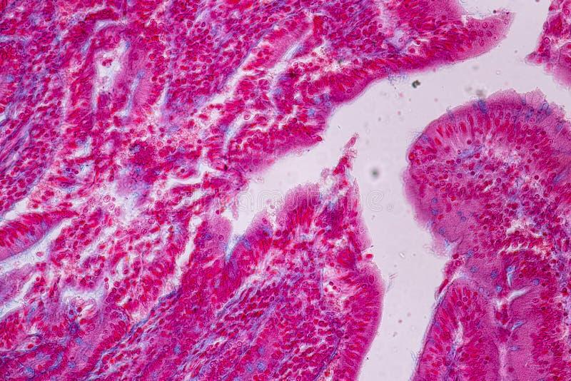 Tkanka mały jelito lub mała kiszka pod mikroskopijnym zdjęcie stock