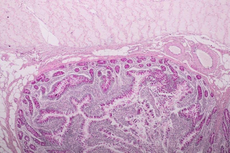 Tkanka mały jelito lub mała kiszka pod mikroskopijnym zdjęcie royalty free