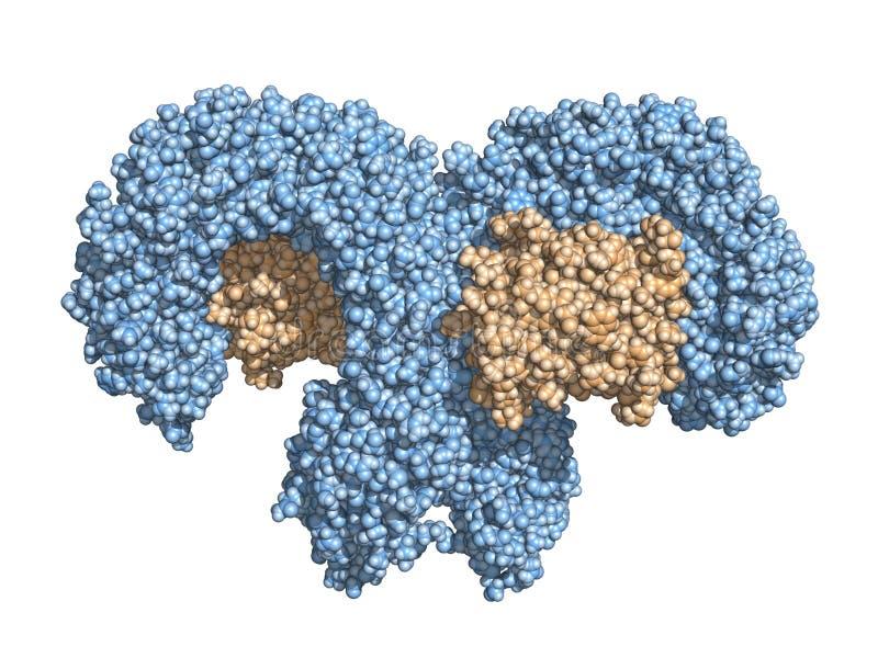 TLR4 tol-als receptor, space-filling model vector illustratie
