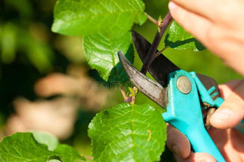 tnąca owocowa mężczyzna drzewa drobiażdżarka zdjęcie royalty free