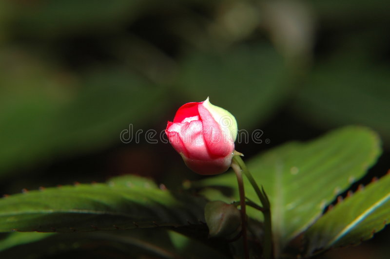 Download About To Flower Royalty Free Stock Images - Image: 4419