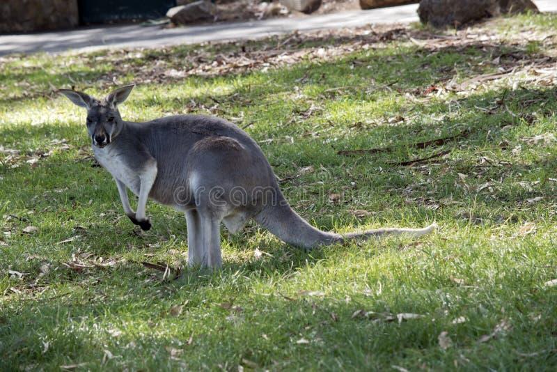 To jest czerwony kangur zdjęcie stock