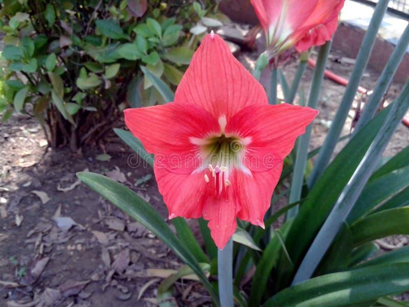 To jest wizerunek wiele czerwoni kwiatów pączki z zielonymi liśćmi obrazy stock
