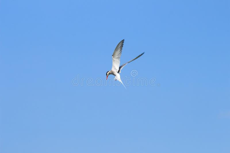 Spying common tern, Hengforderwaarden, Holland royalty free stock photography