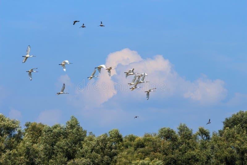 Flying spoonbills in the Hengforderwaarden, Holland royalty free stock photo